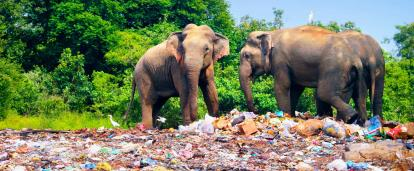 Three elephants standing on top of a pile of plastic in Sri Lanka looking for rubbish amongst the garbage.